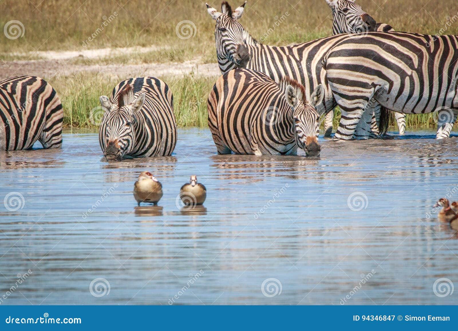 Diversas zebras que bebem no Chobe