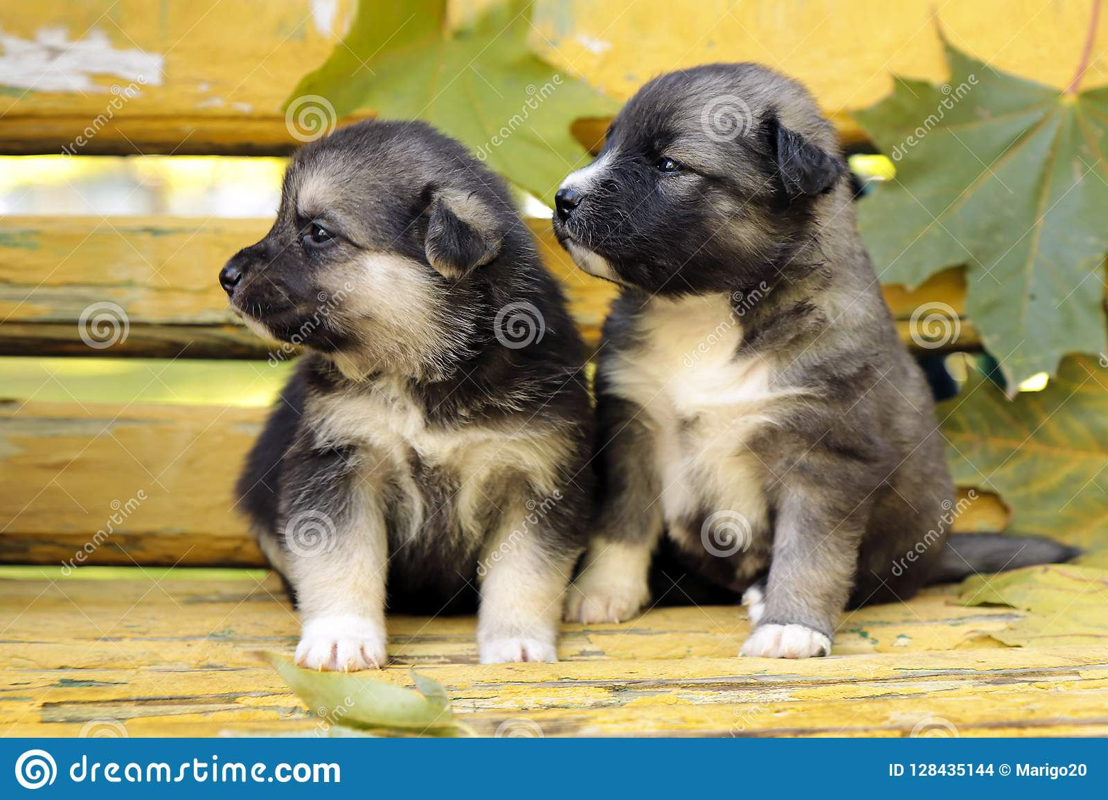 A Diverse Group Of Puppies Of Breed Of The Husky Stock Photo Image