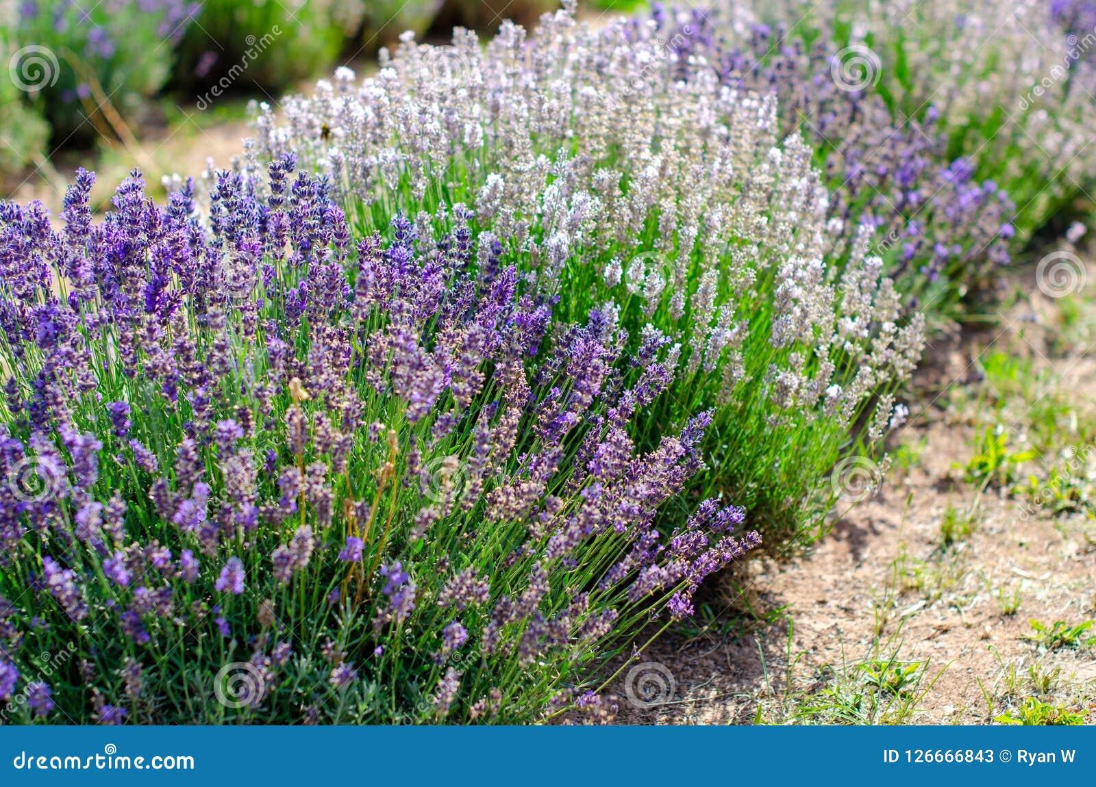 Diverse types van lavendel op een rij