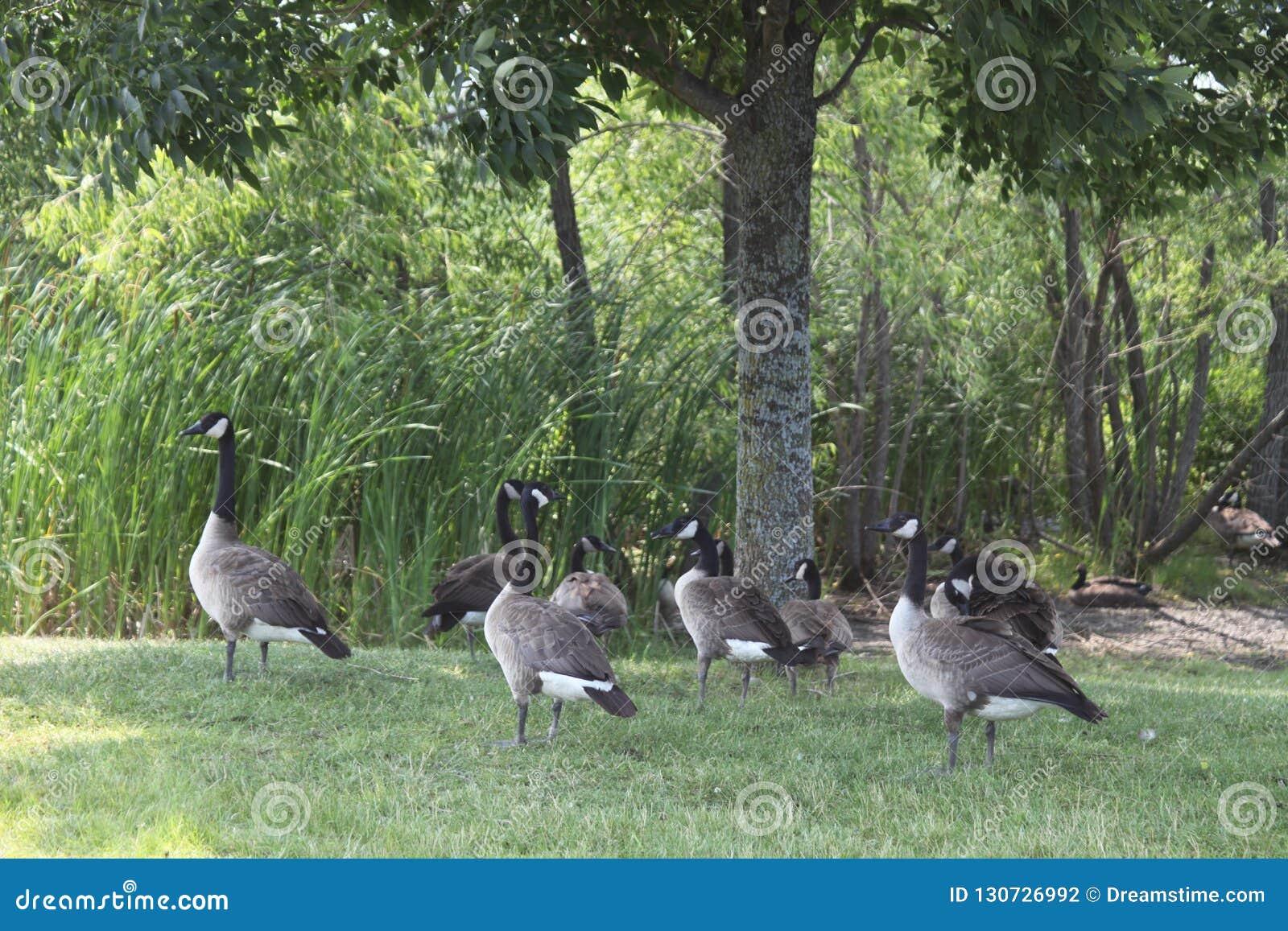 Diversos gansos em um dia de verão na grama