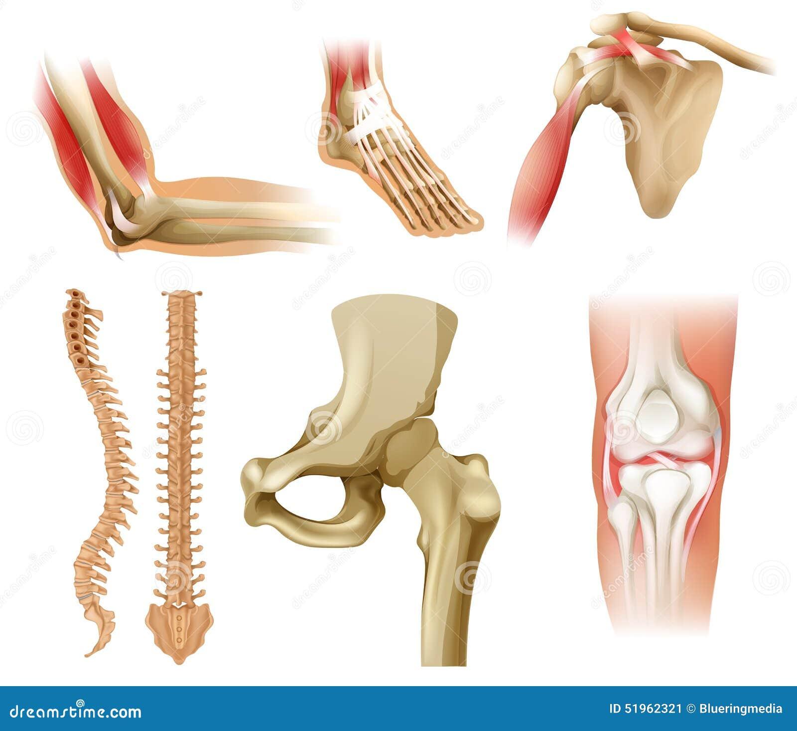 Diversos huesos humanos ilustración del vector. Ilustración de ...