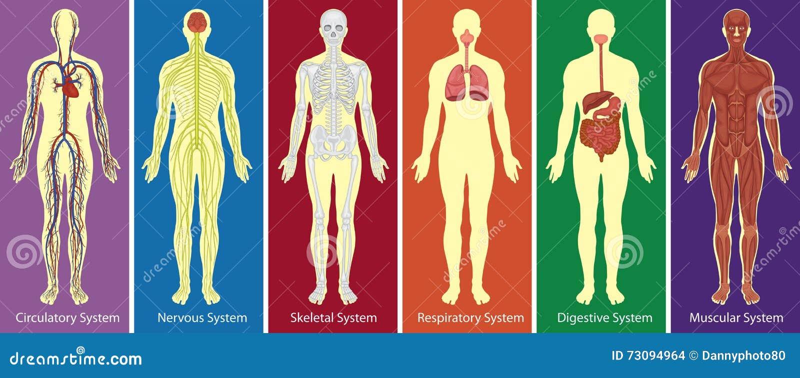 Diversos Sistemas De Diagrama Del Cuerpo Humano Ilustración del ...