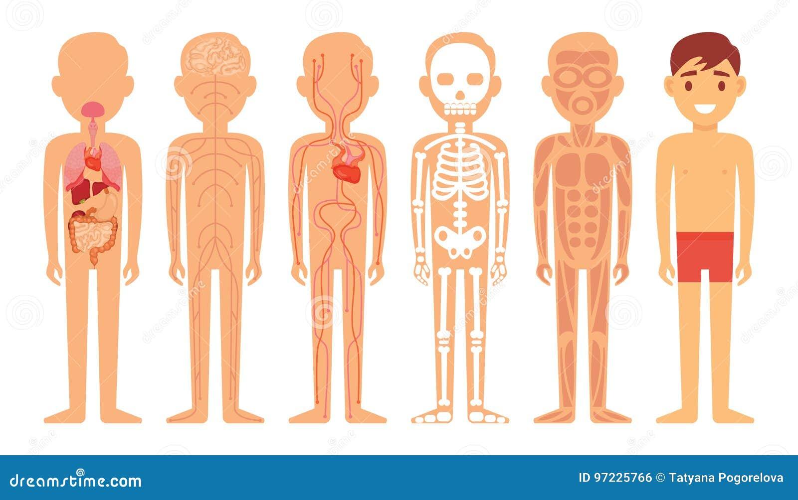 Diversos Sistemas De Ejemplo Del Diagrama Del Cuerpo Humano Stock de ...