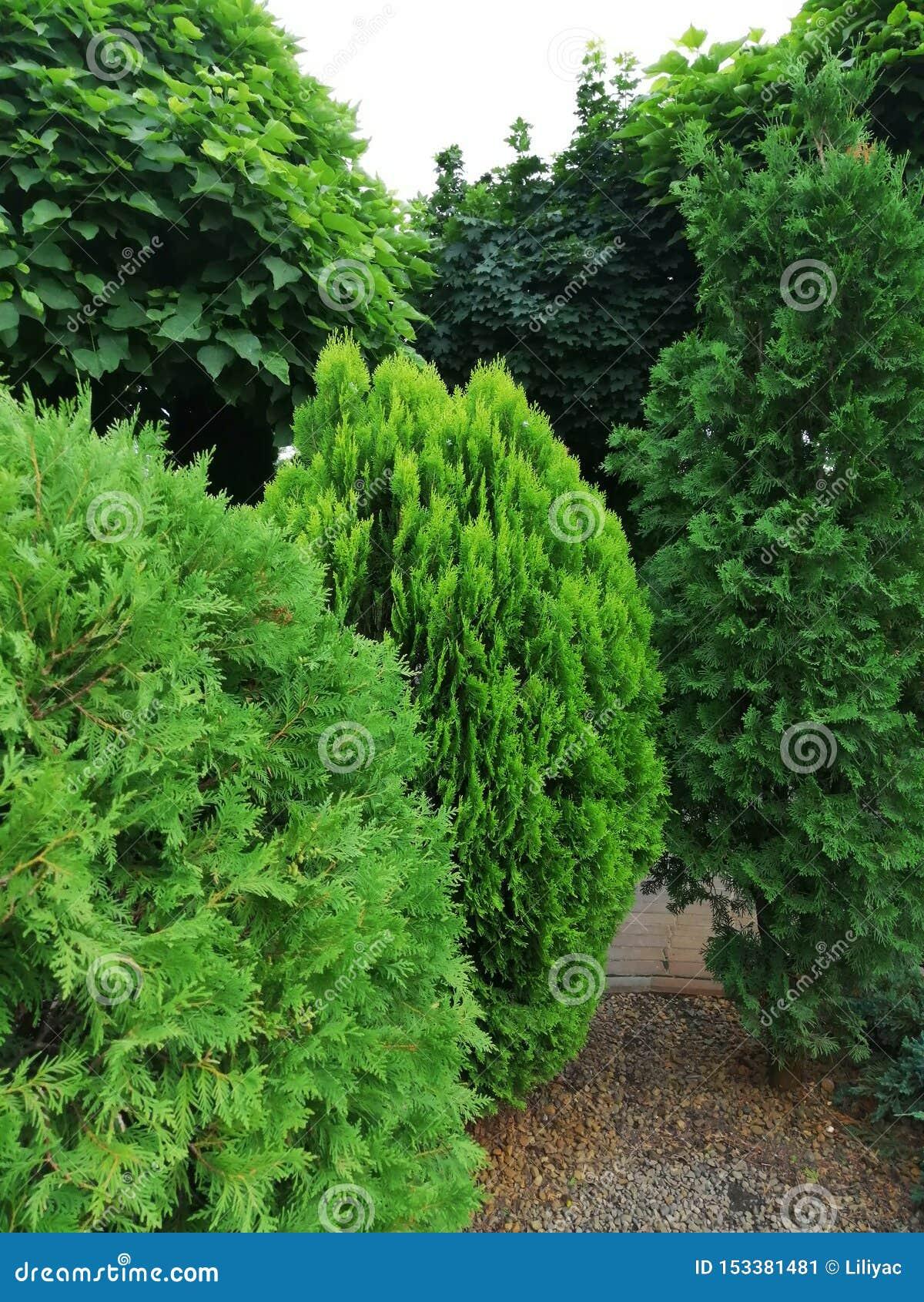 Diversos tipos de árboles coníferos en el jardín