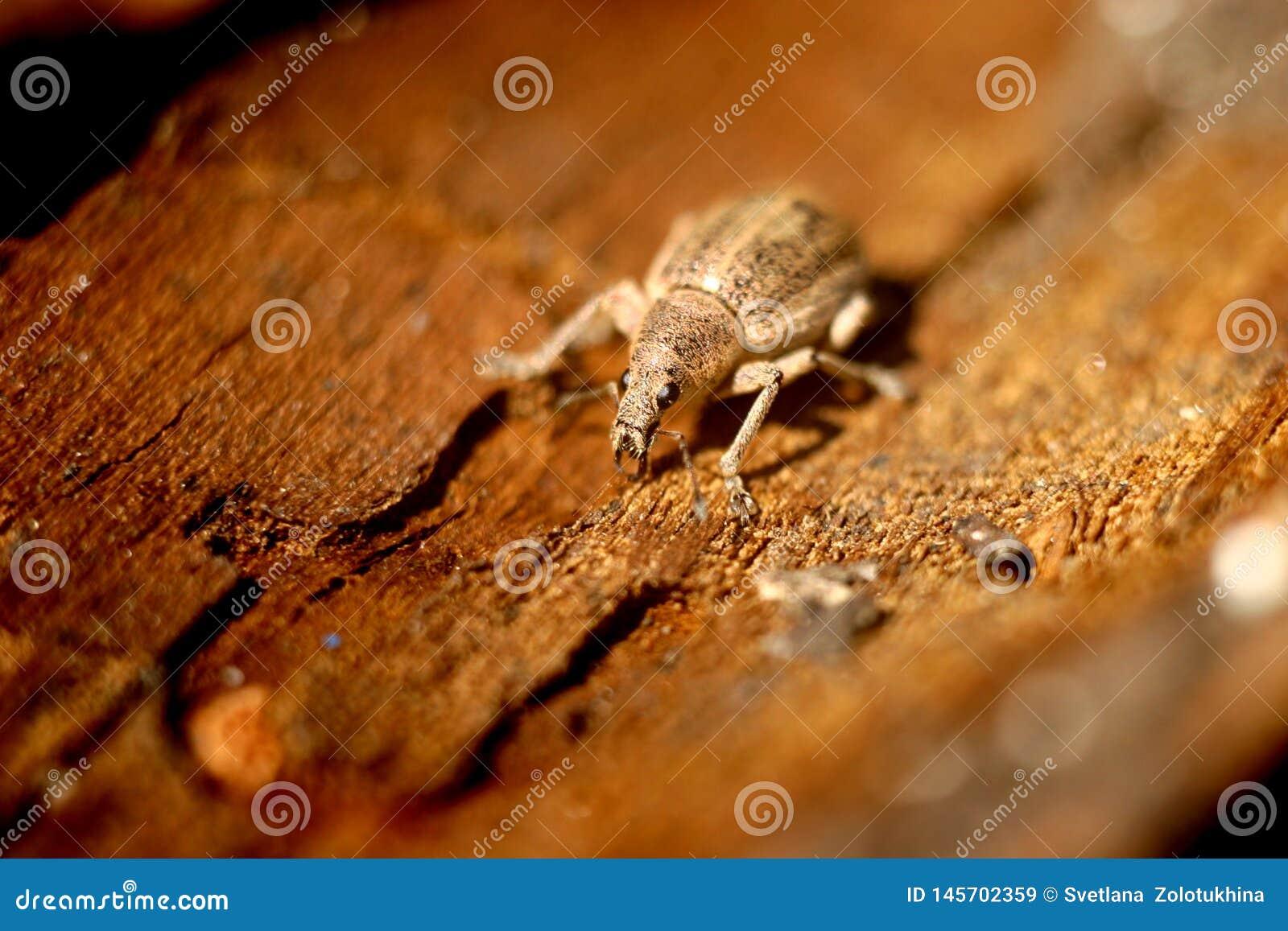 Diversos tipos de escarabajo del parásito, escarabajo del gorgojo