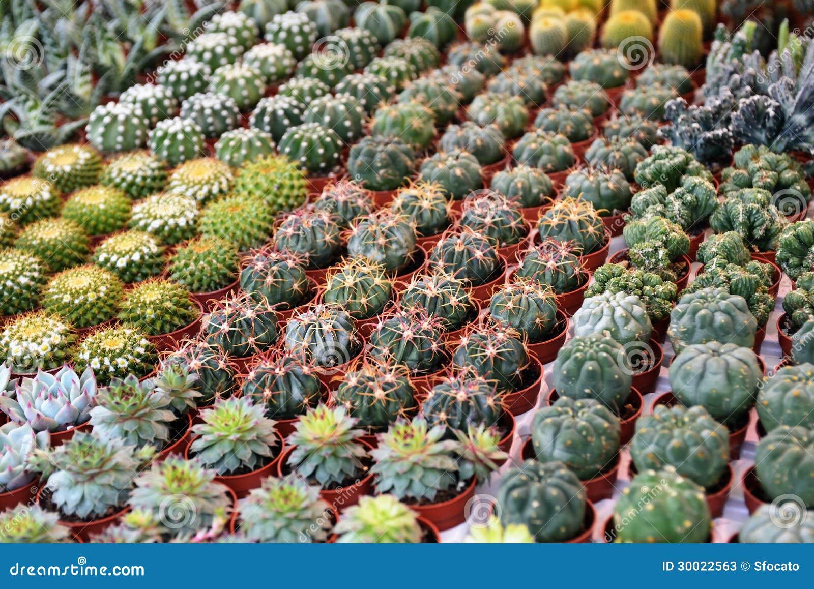 Diversos tipos de plantas suculentas al mercado de la flor, foco