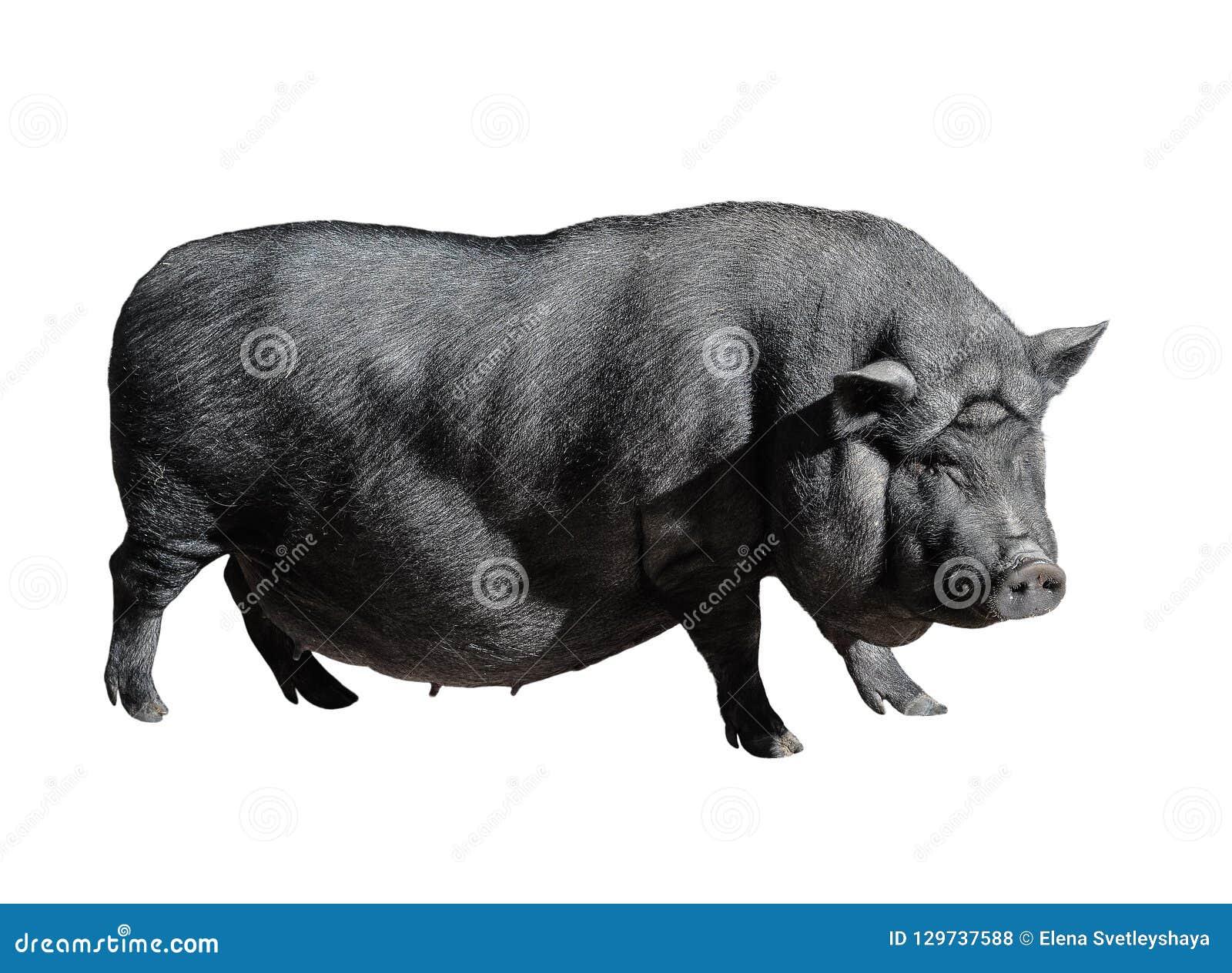 Divertido manchó el cerdo vietnamita negro aislado en blanco Integral femenino joven barrigón del cerdo aislado en el fondo blanc