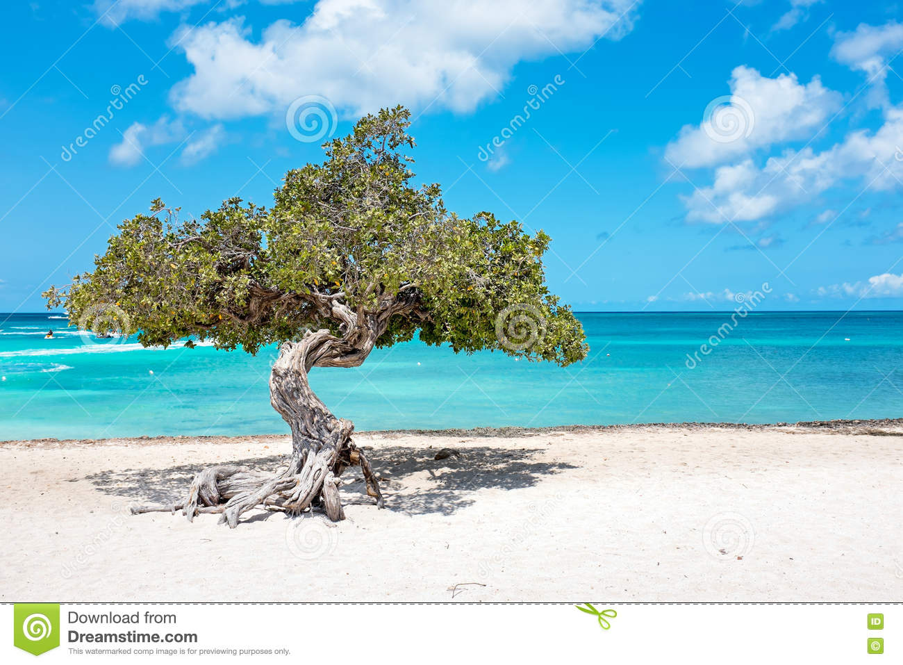 Divi divi tree on aruba island stock photo image 72332803 - Divi tamarijn aruba ...