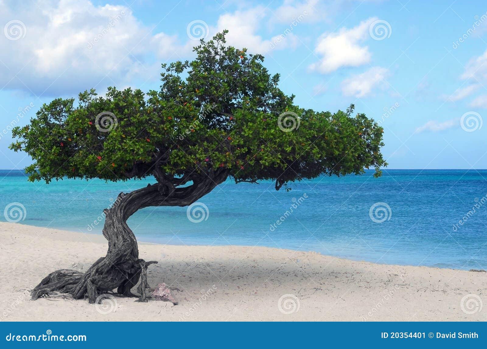 Divi divi tree on eagle beach in aruba stock image image - Divi beach aruba ...