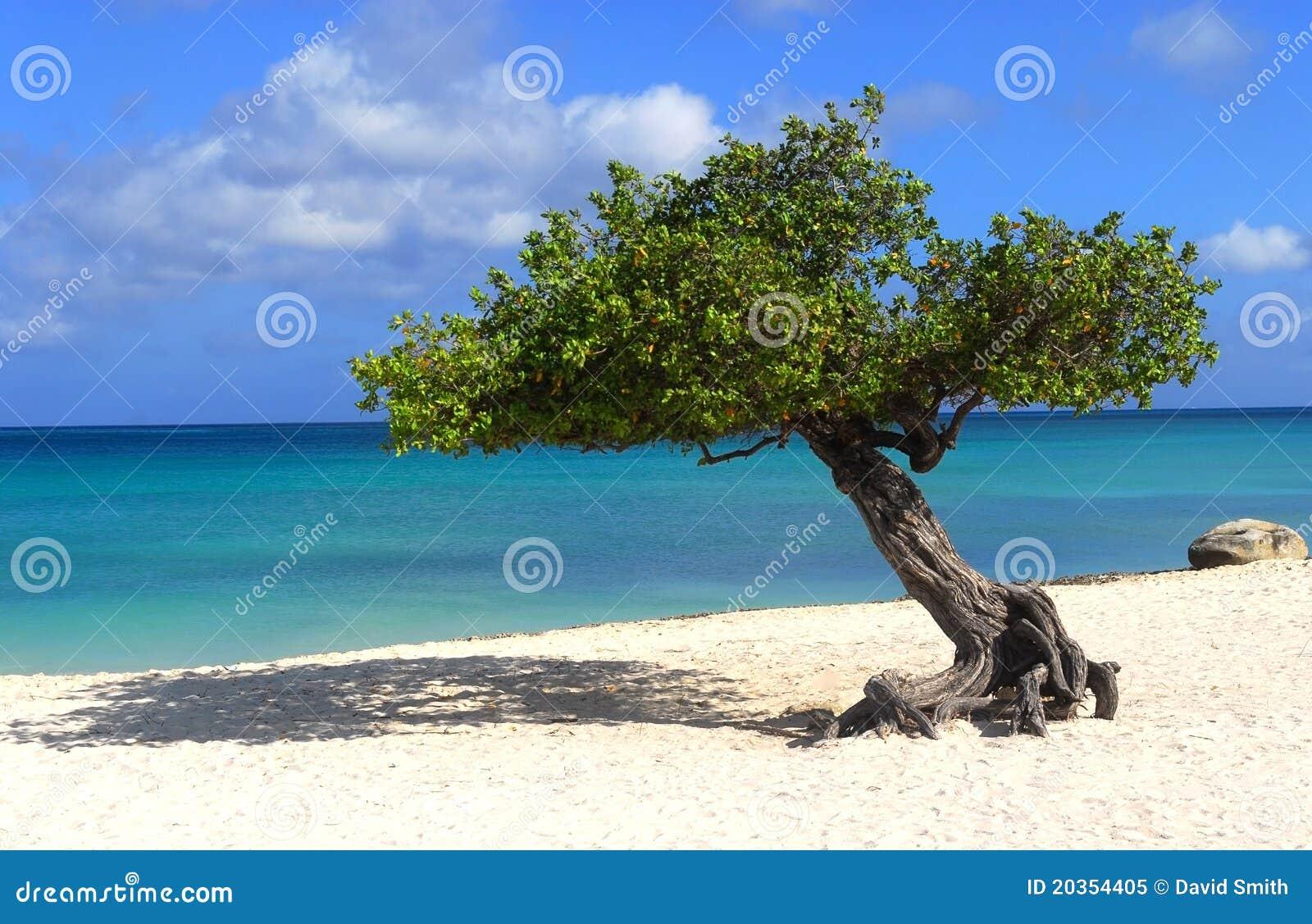 Divi divi tree on eagle beach in aruba royalty free stock - Divi beach aruba ...