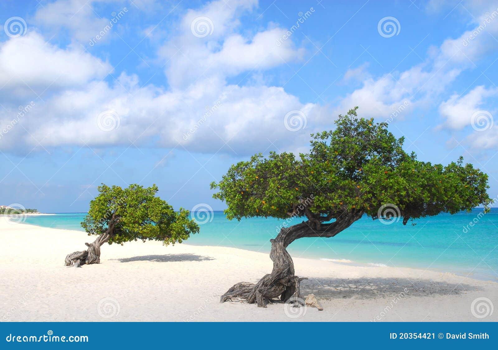Divi divi trees on eagle beach in aruba stock image - Divi beach aruba ...