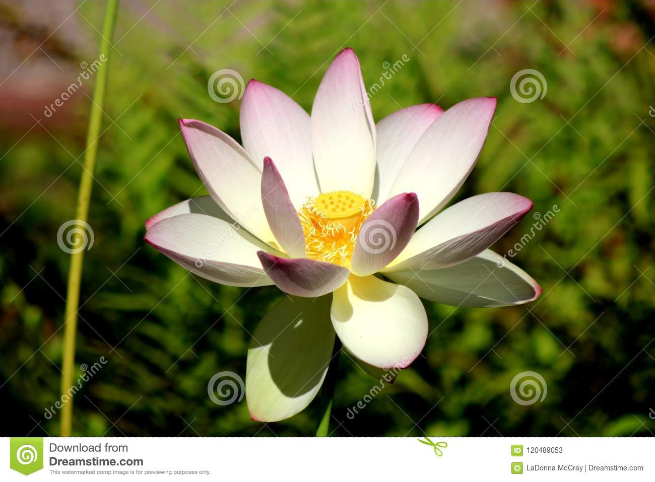A Divine American Lotus Flower Stock Image Image Of Water Lily