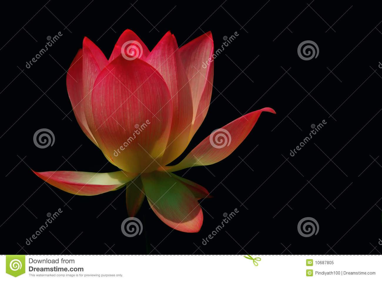 Divine Lotus Stock Image Image Of Elegant Botany Wallpaper 10687805