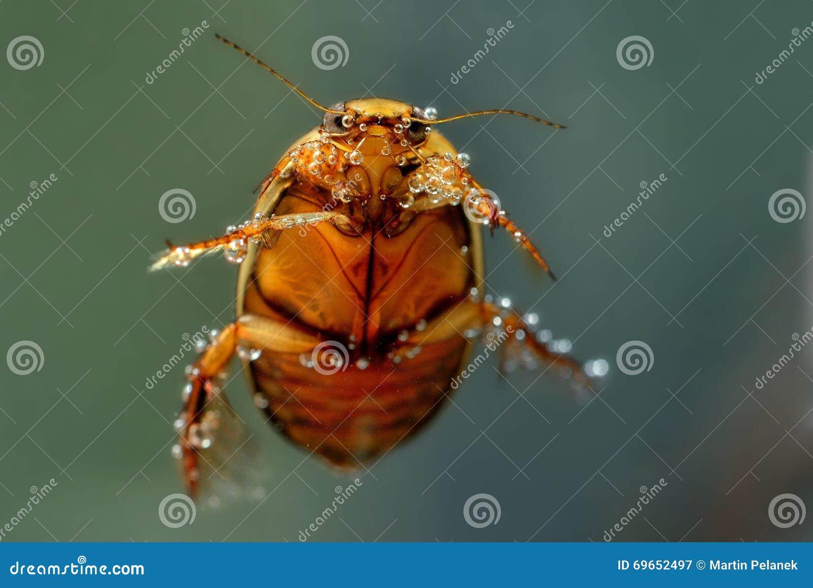 diving beetle graphoderus cinereus stock image image of detail