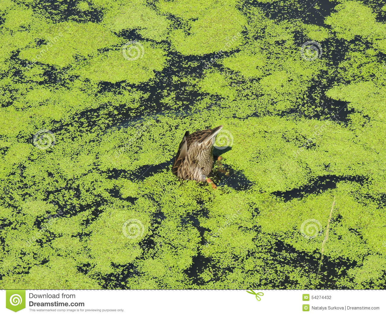 Duck in the pond royalty free stock photo cartoondealer for Pond dealers