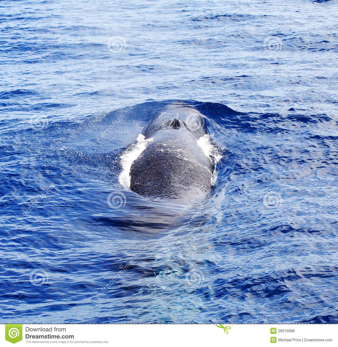 A diving Fin Whale ( Balaenoptera physalus)
