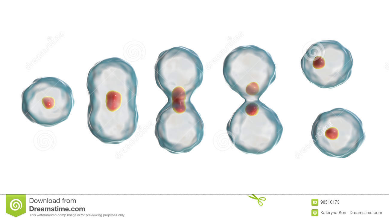 Cell Division  Mitosis Vector Illustration