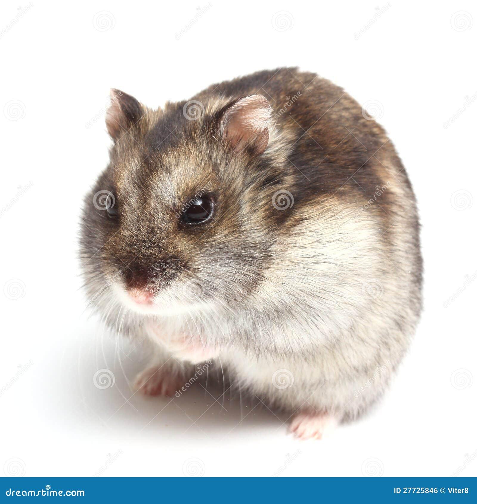 Djungarian Hamster (Phodopus sungorus)