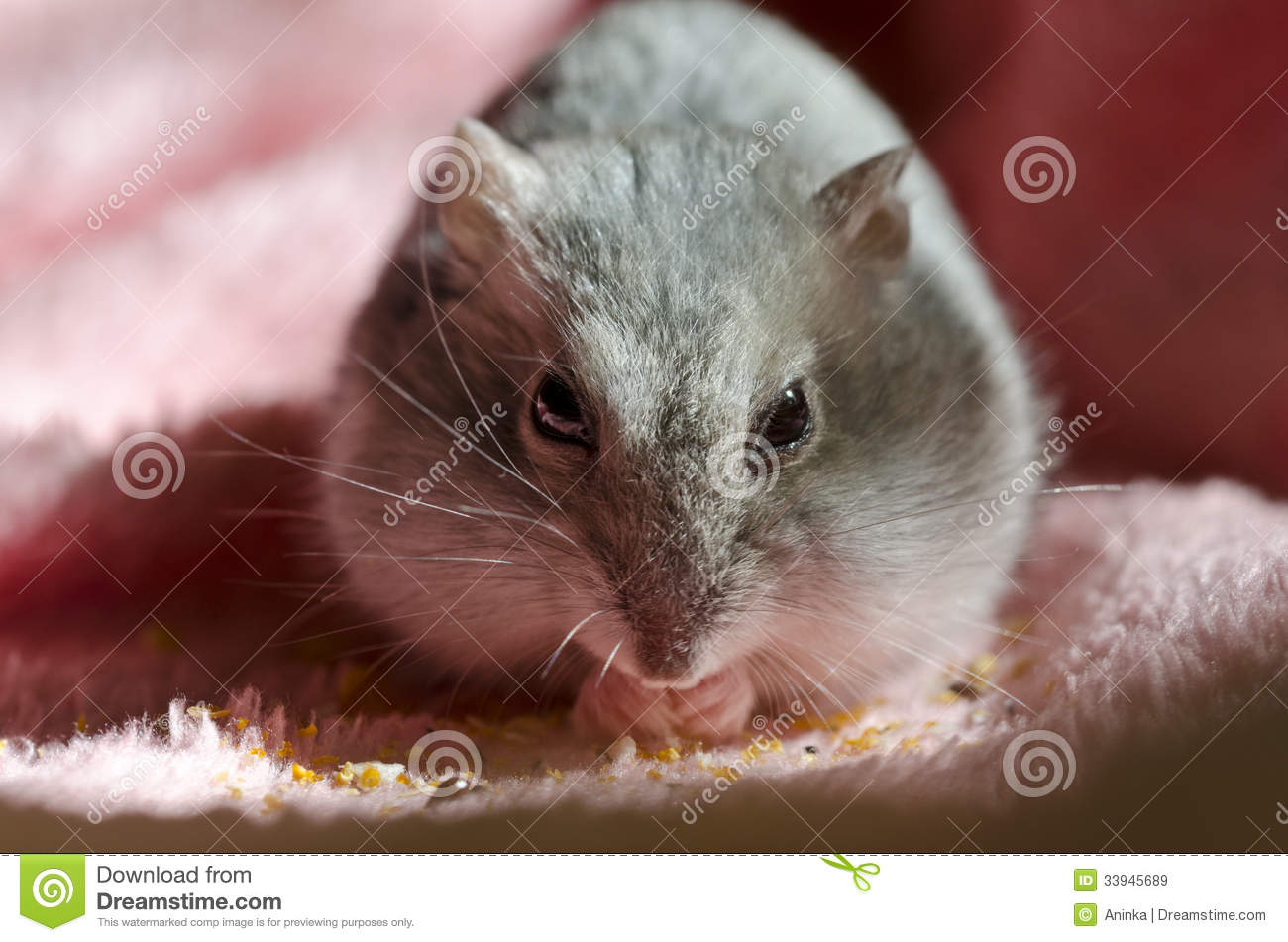 Djungarian Hamster Royalty Free Stock Images - Image: 33945689