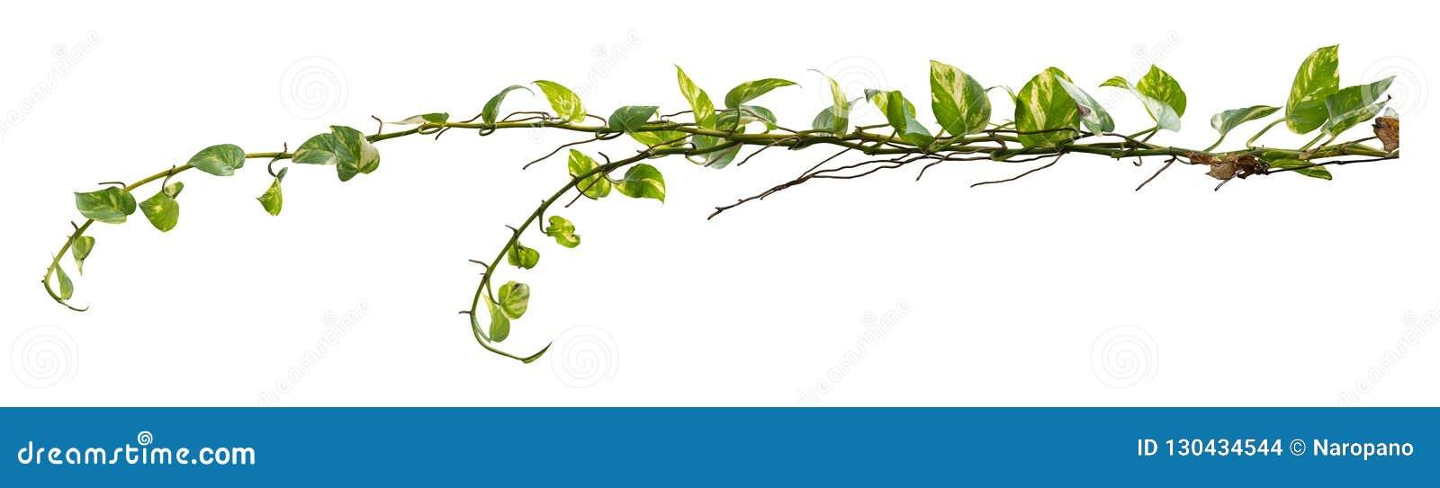 Djungel för vinrankaväxt, klättra som isoleras på vit bakgrund Snabb bana