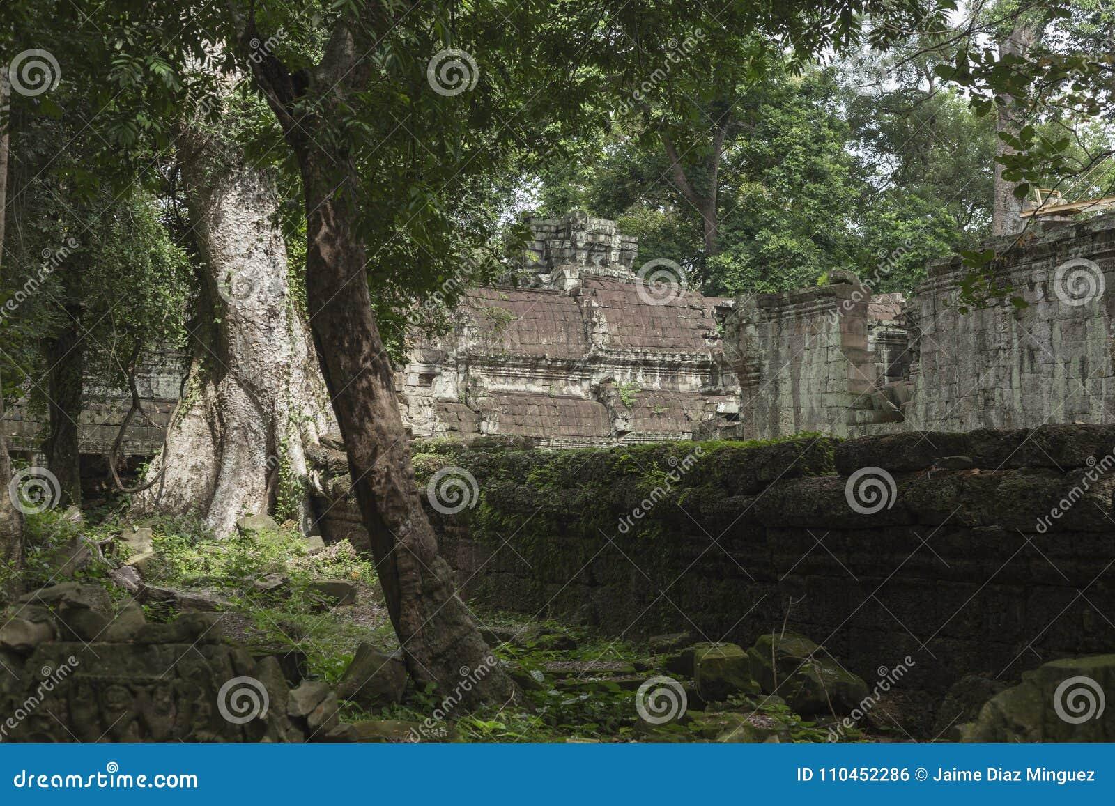 Djungel och träd inom templet av Ta Prohm i Angkor