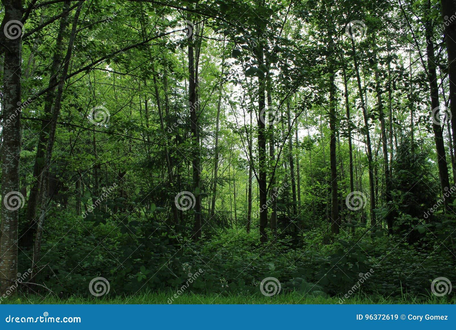 Djup frodig grön washington skog