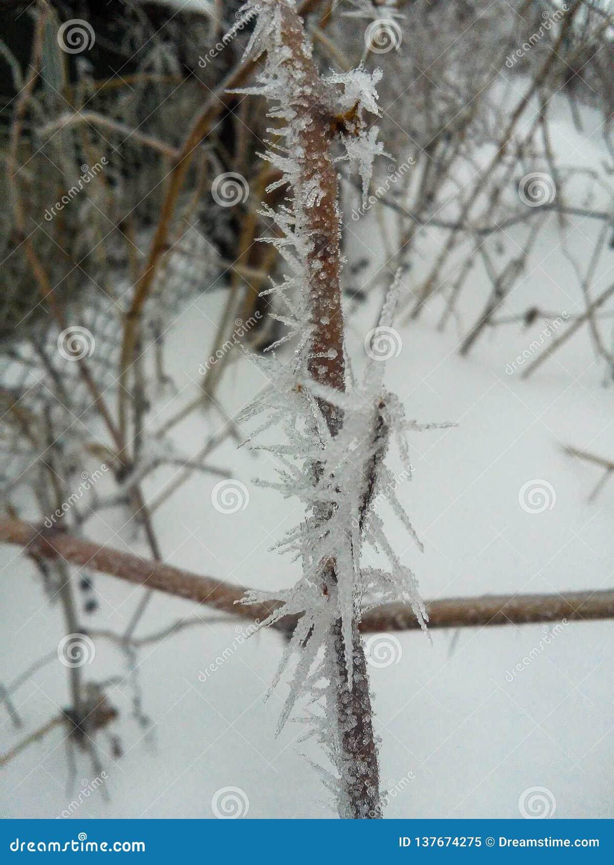 Djupfrysta röda bär rowen på trädet som täckas med frost
