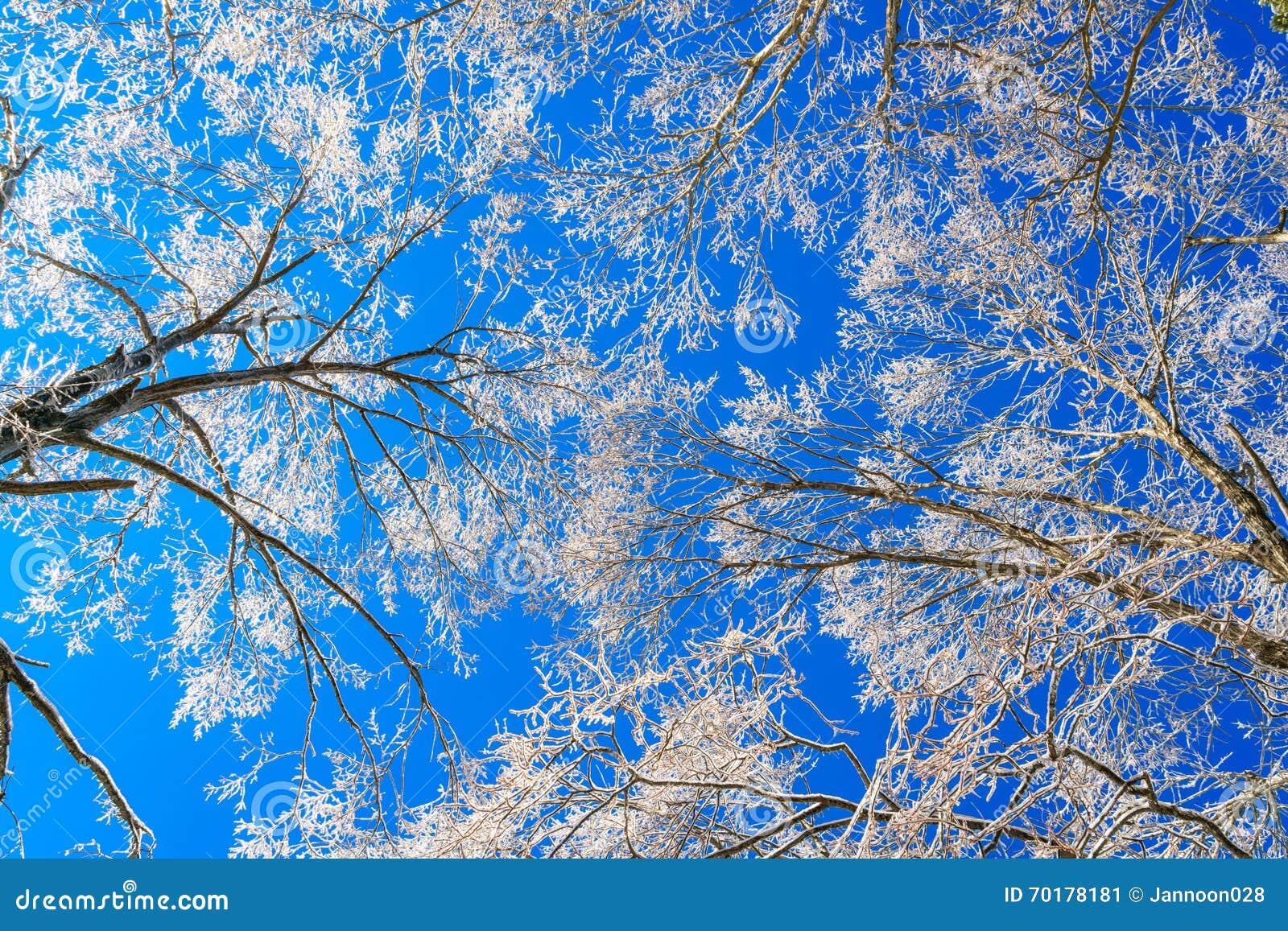 Djupfrysta träd i vinter med blå himmel