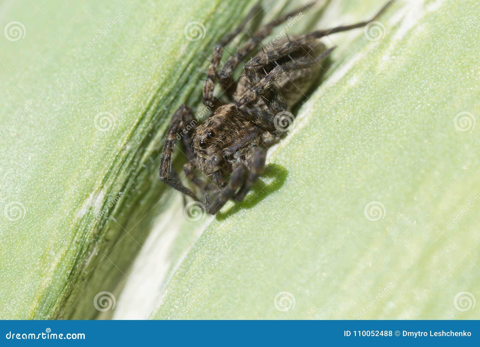 Djur spindeldjur, farligt, grönt som är hårig, kryp, förkläde, banhoppning, blad, makro, natur, gift, läskigt som är litet, spind