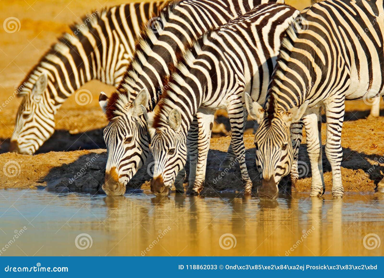 Djurdricksvatten Plattar till sebran, Equusquagga, i den gräs- naturlivsmiljön, aftonljus, den Hwange nationalparken Zimbabwe W