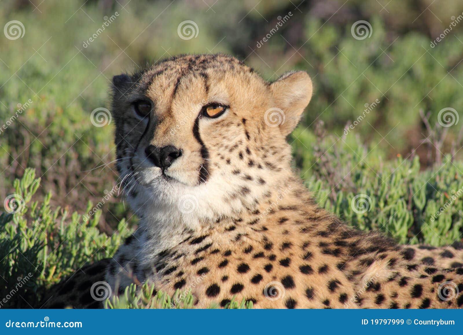 Djurliv för cheetahreservsanbona