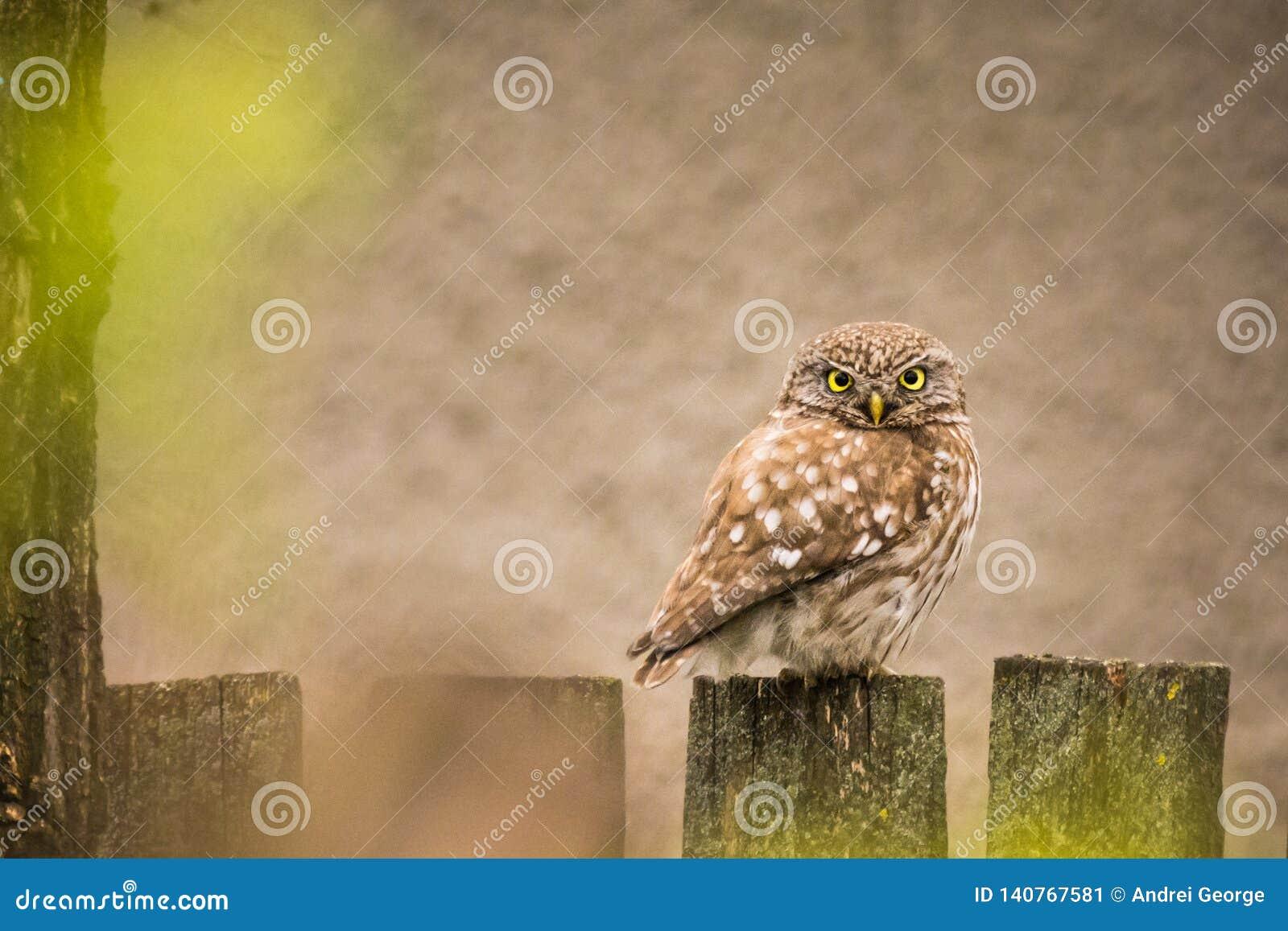 Djurliv - liten uggla på ett staket
