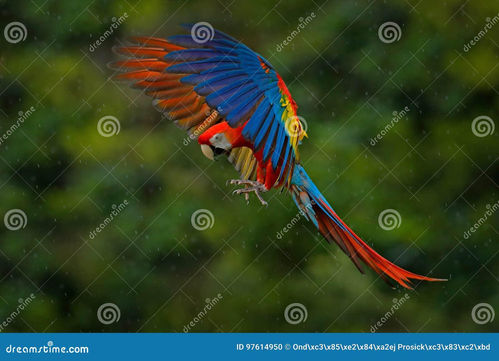 Djurlivplats från vändkretsnaturen Röd fågel i skogpapegojaflyget Röd papegoja i regn Arapapegojafluga i mörker - grön veget