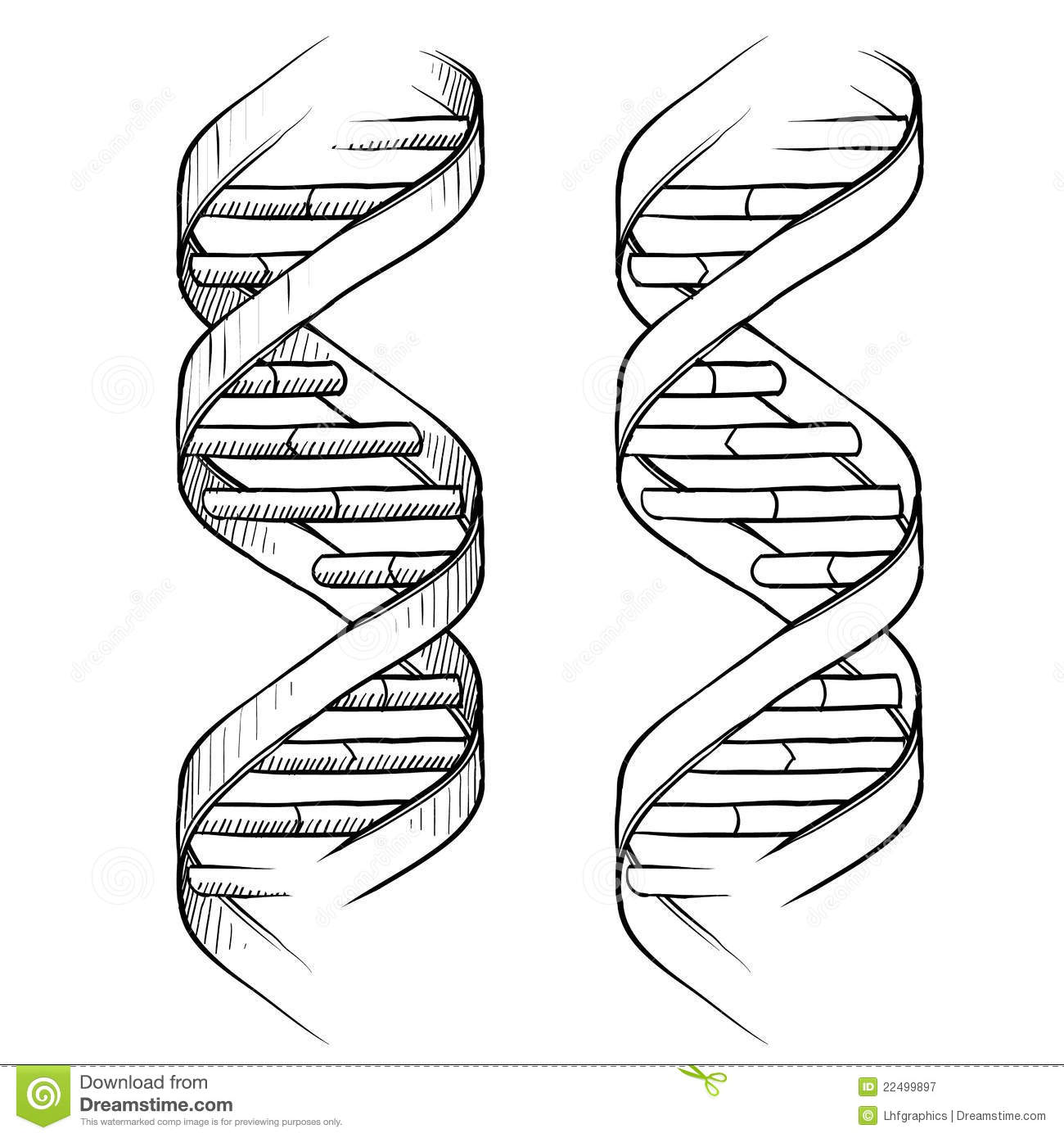 dna double helix drawing stock vector. illustration of illustration - 22499897 bone structure diagram