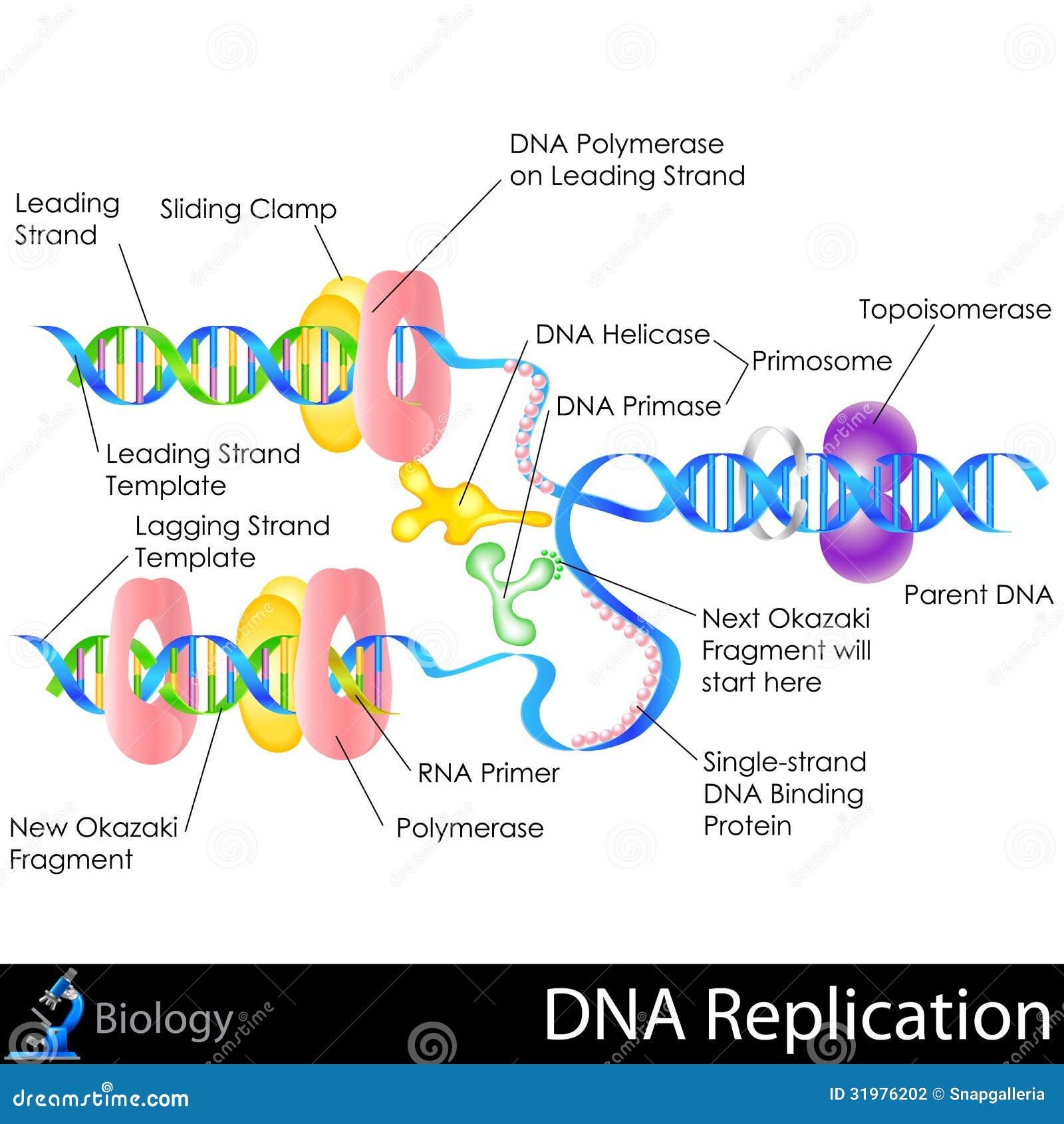 DNA-Replicatie