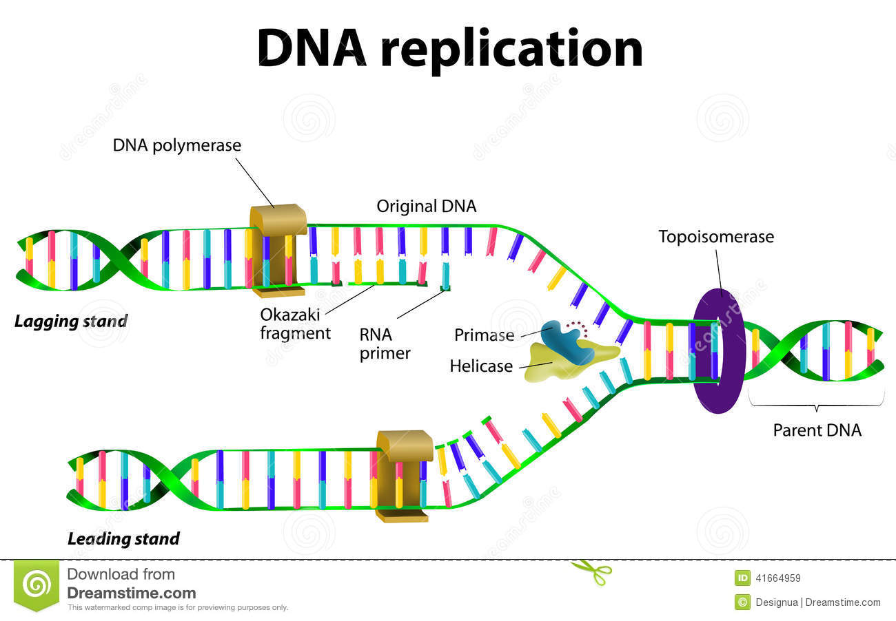 Dna Replication Diagram DNA replication