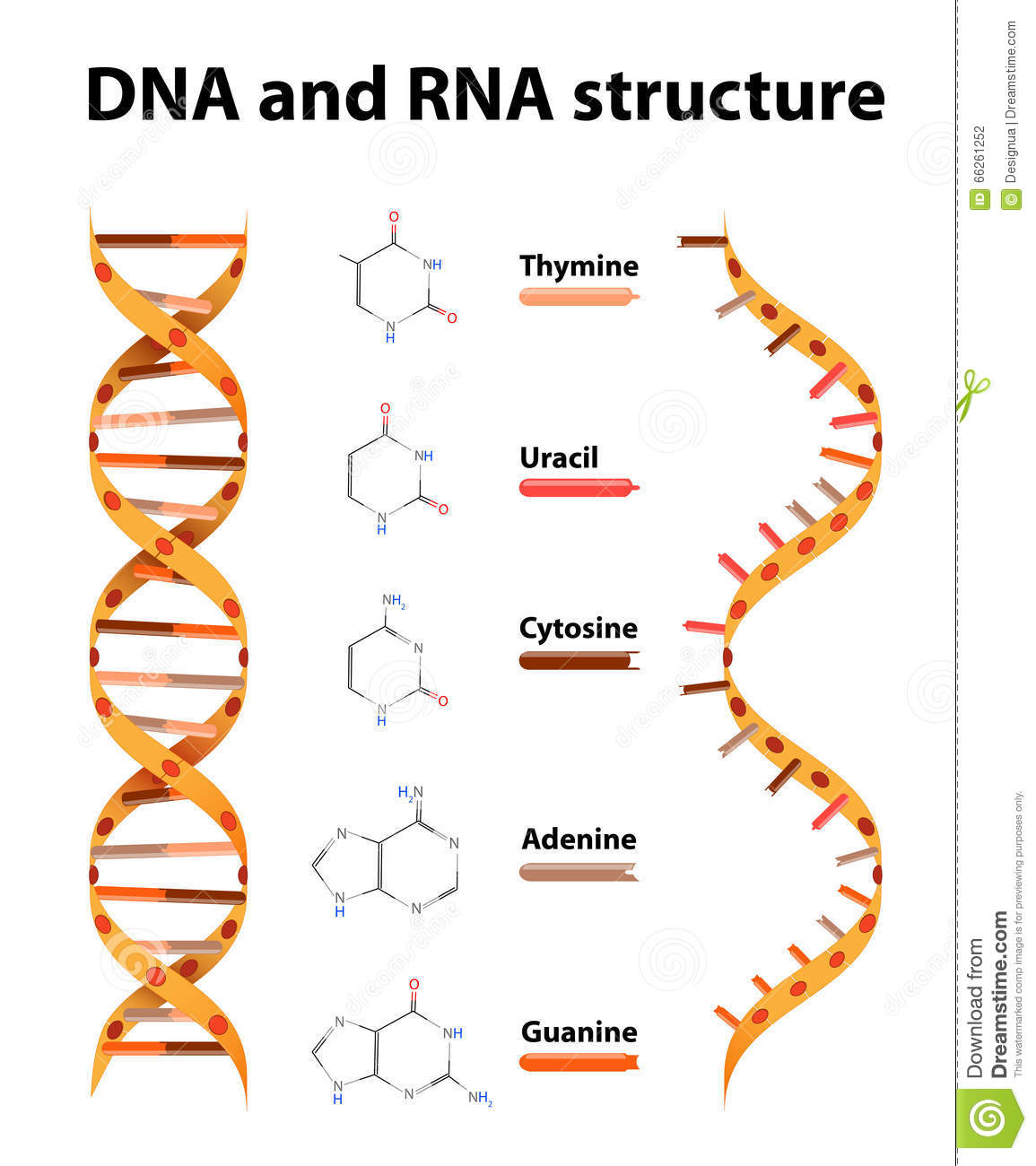 DNA And RNA Structure Stock Vector - Image: 66261252