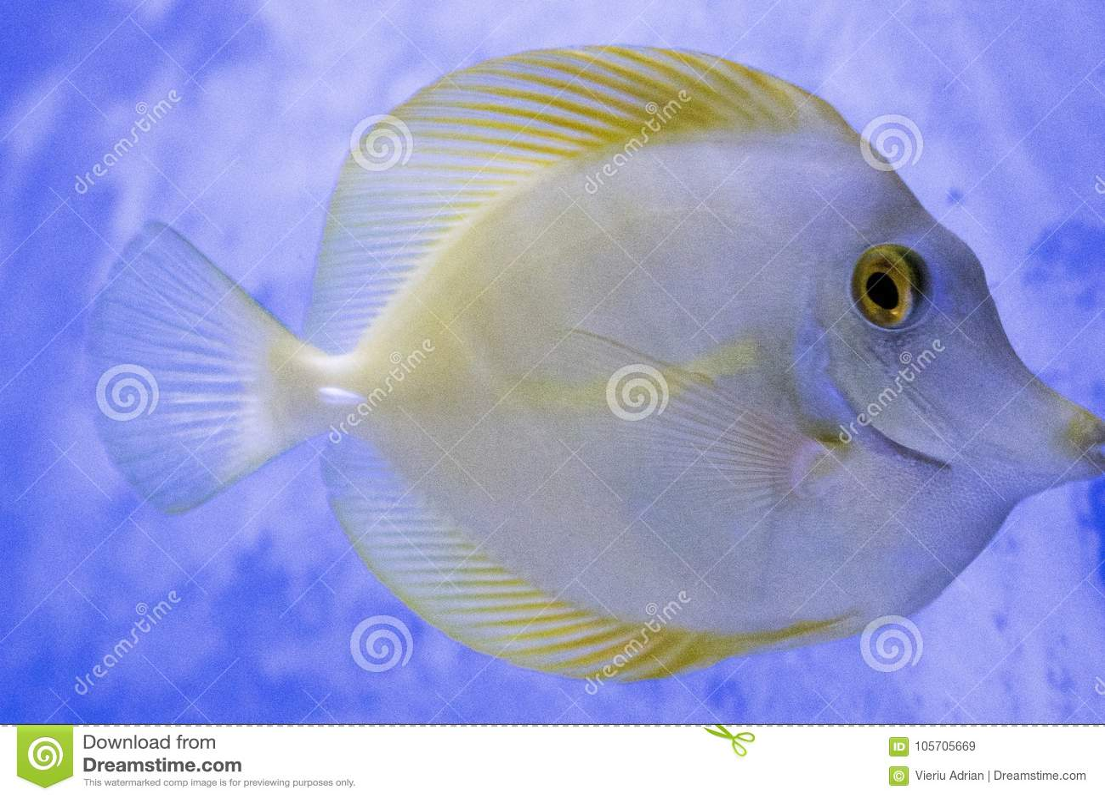 Do aquário exótico dos peixes de Diskus cor exótica animal
