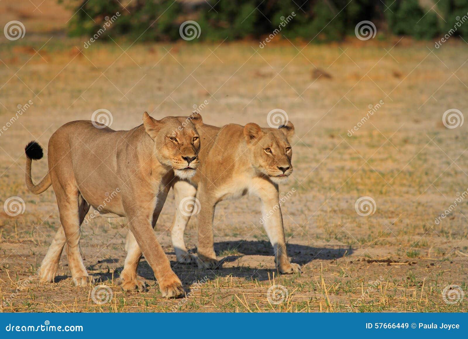 2 do orgulho de Cecil que ANDA NAS PLANÍCIES no hWANGE