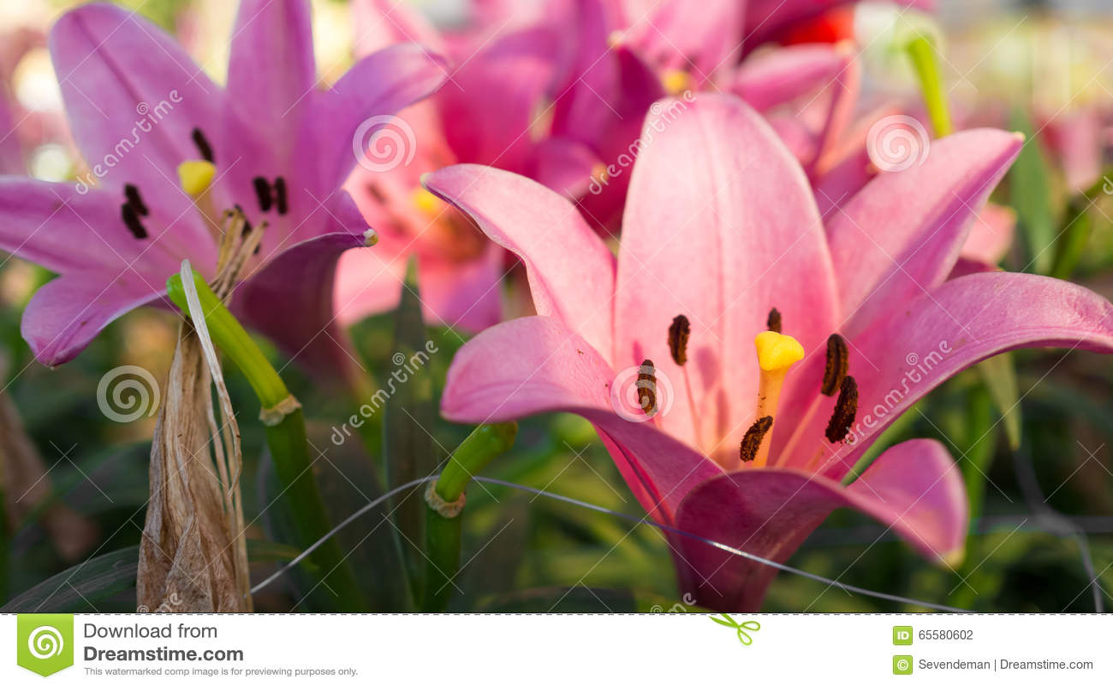 Do rosa jardim lilly