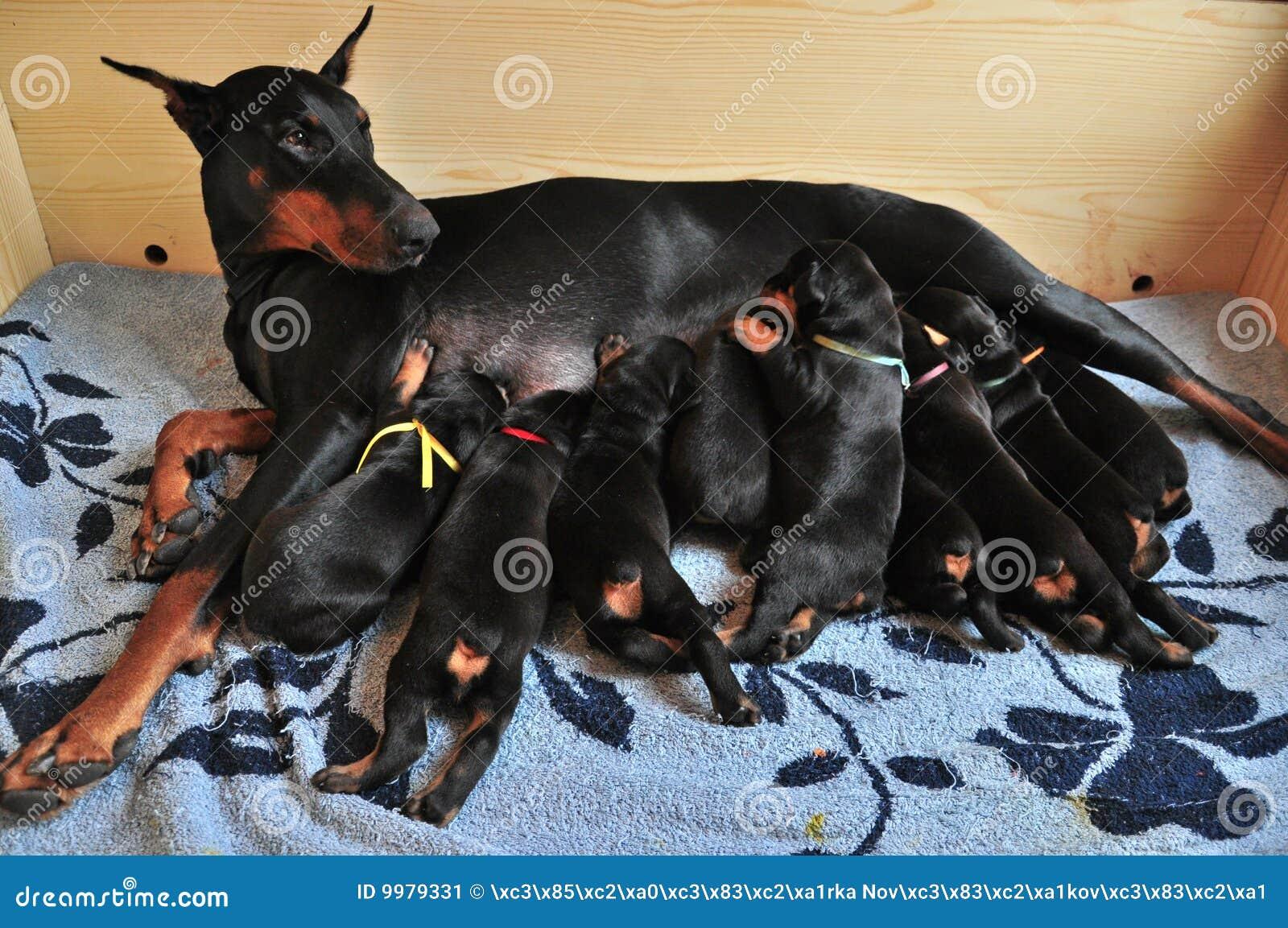 Doberman Nursing Its Puppies Stock Image Image 9979331