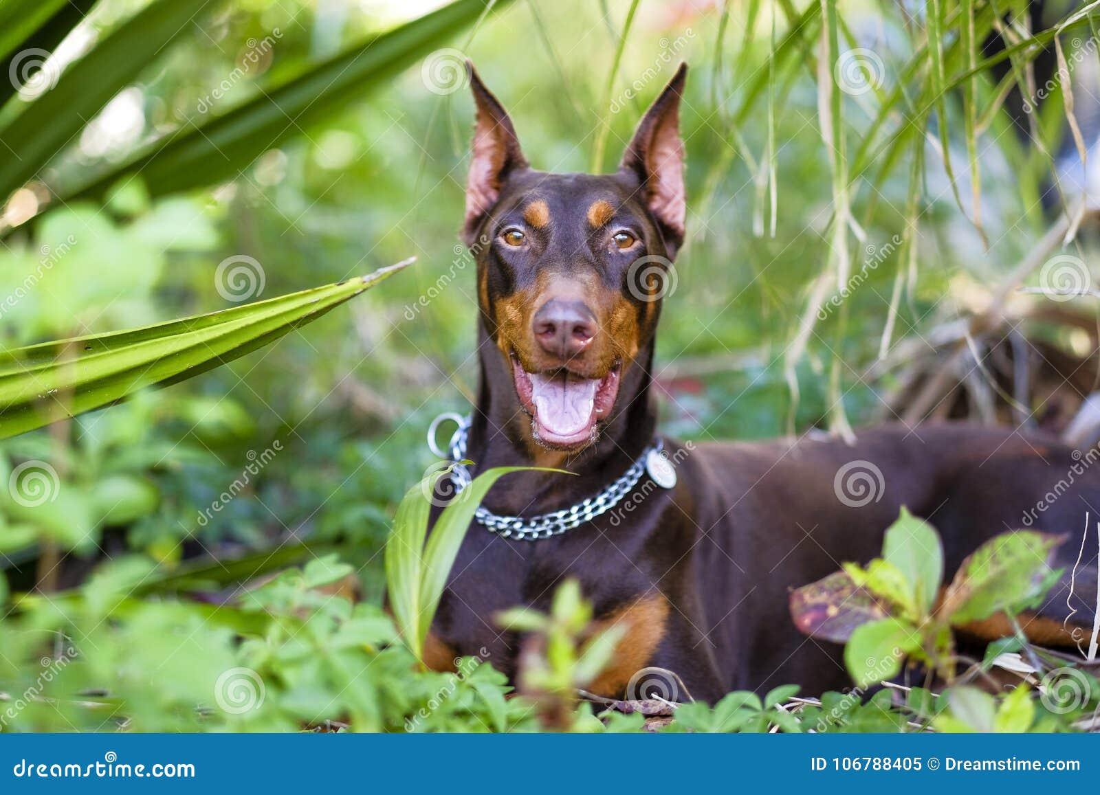 Doberman da raça do cão de animais de estimação alegre em ver sua abóbada