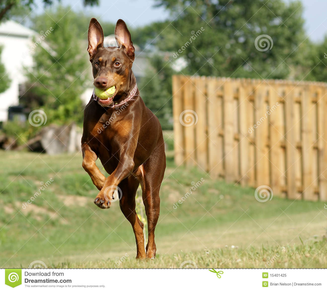 Doberman Jumping Stock Image Image Of Ears Jumping 15401425