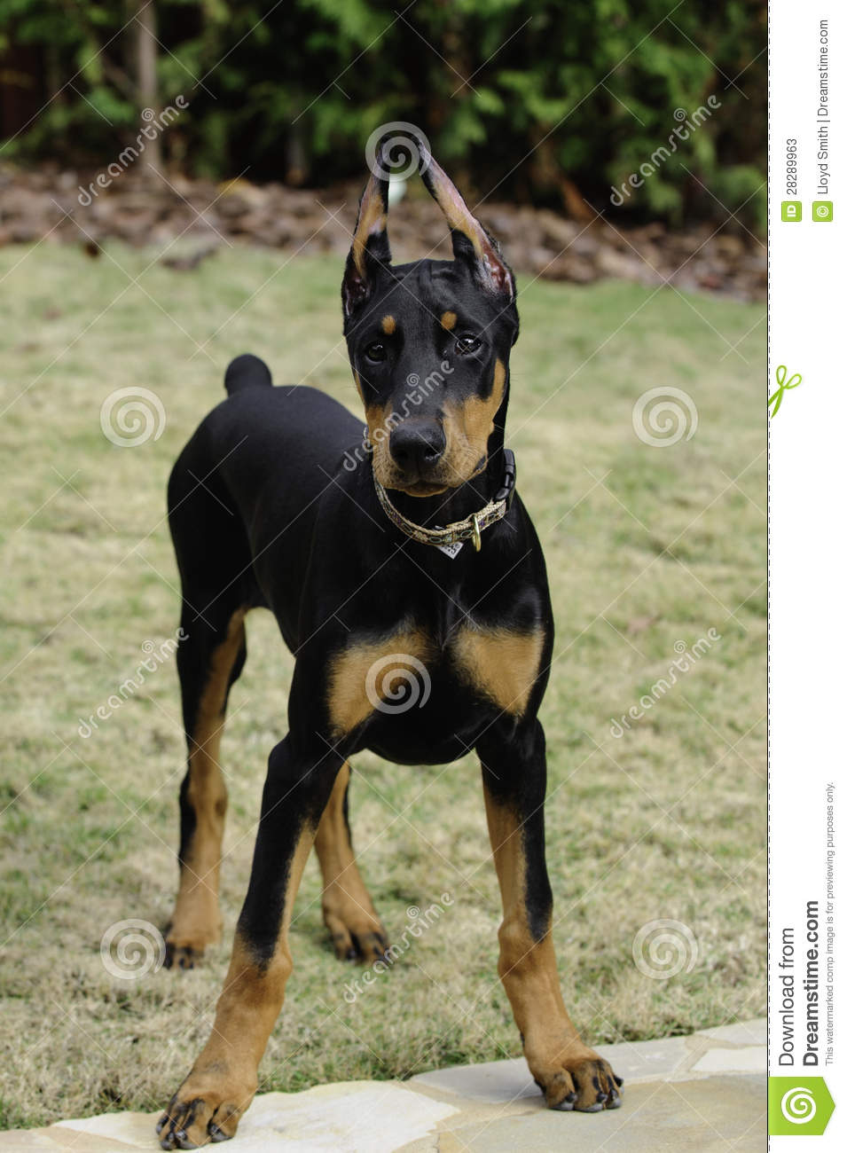 Doberman Pinscher Puppy Stock Image Image Of Louis Muscular 28289963