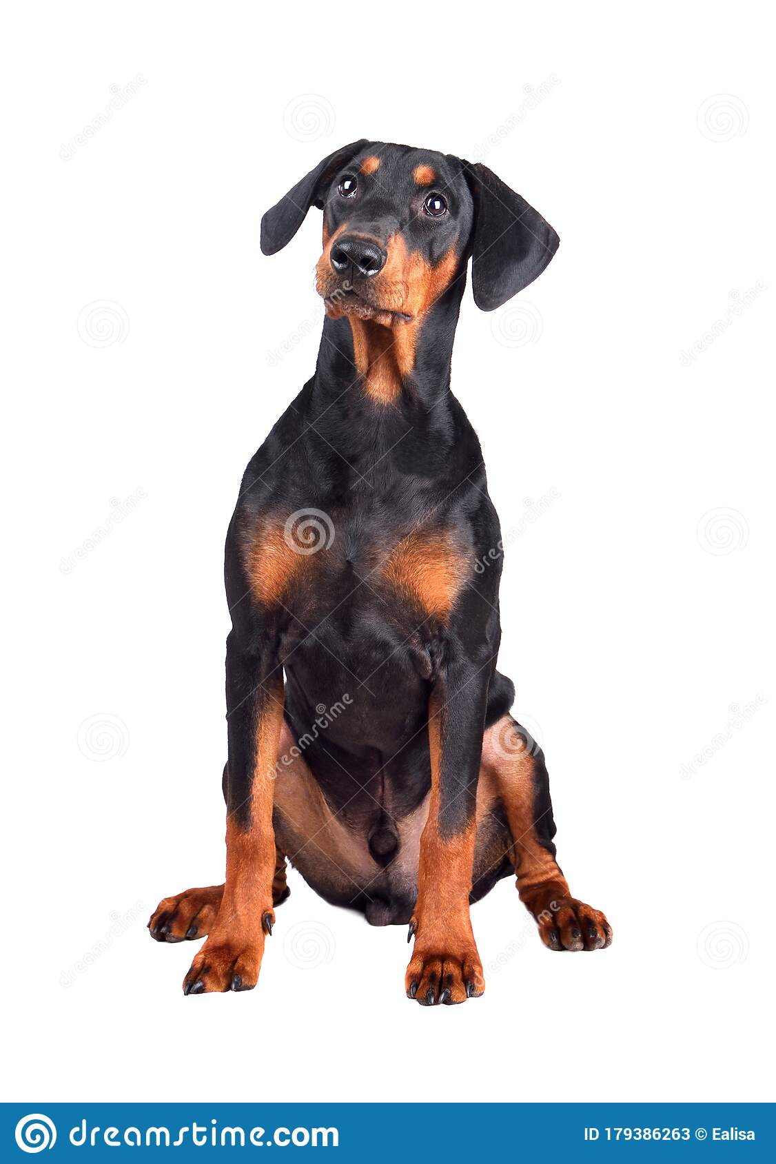 Doberman Pinscher Puppy Stock Image Image Of Puppy 179386263