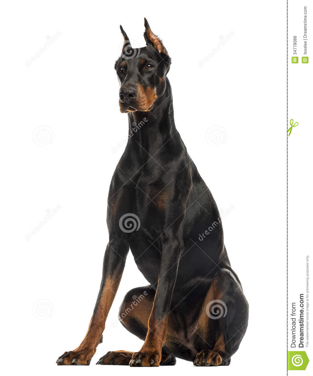Doberman Pinscher Sitting, Isolated Royalty Free Stock Photos - Image ...