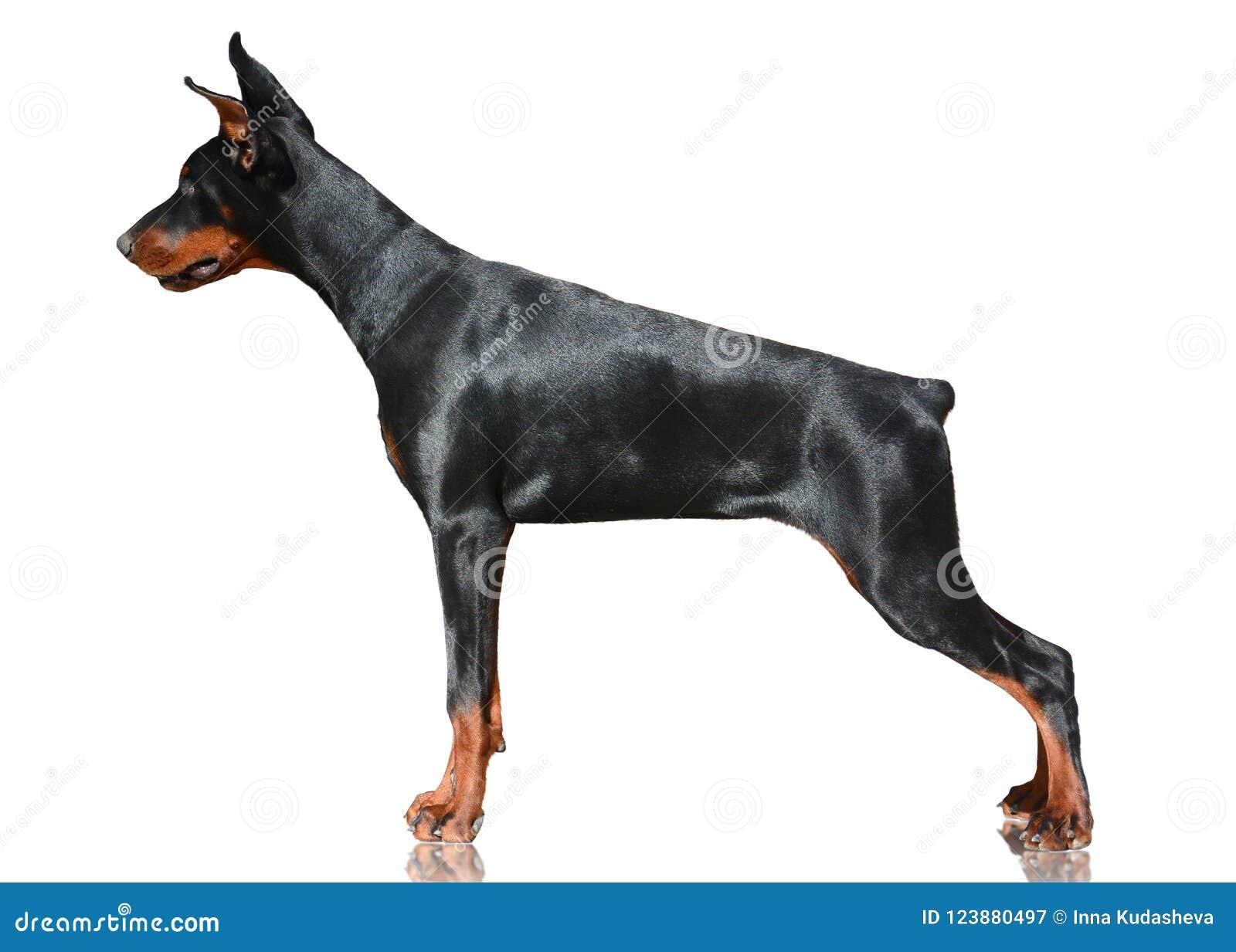 Doberman psa stojak odizolowywający na białym tle Boczny widok