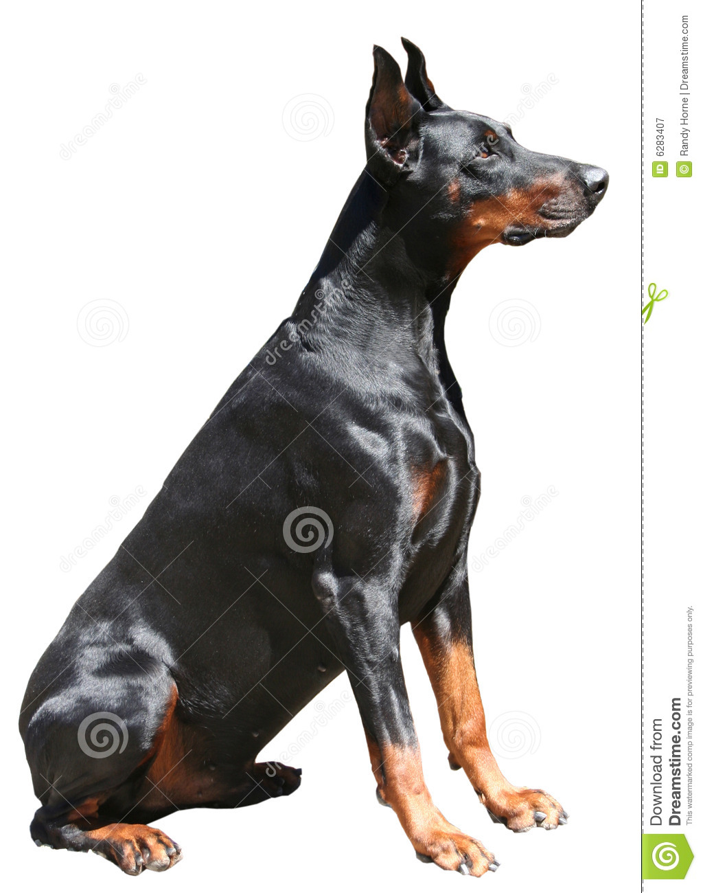 doberman sitting royalty free stock photography   image
