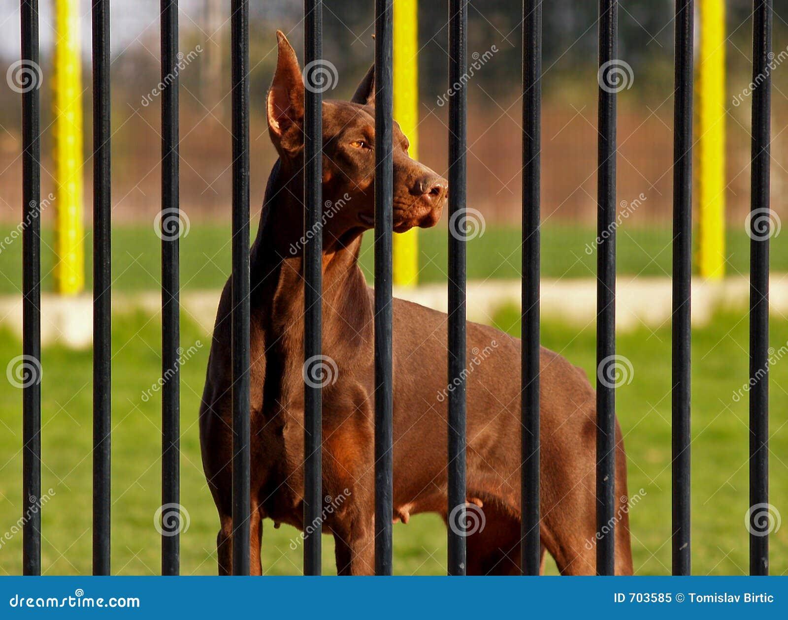 Dobermann dietro le barre