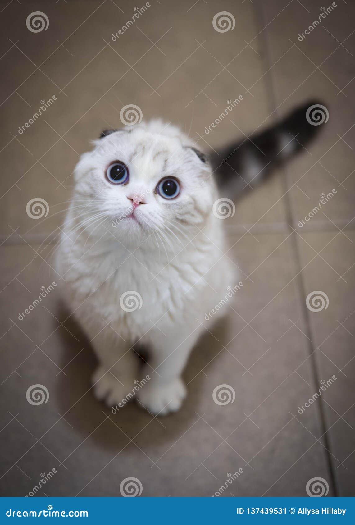 Doblez escocés con los ojos azules